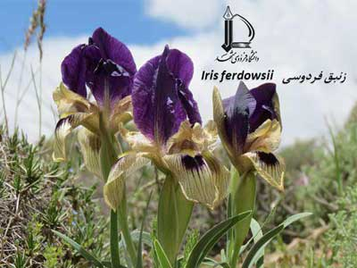 Discovery of a new plant species by FUM was recorded as Hakim Abulghasem Ferdowsi